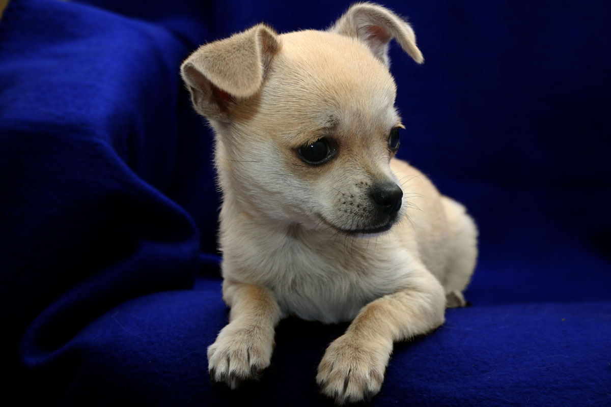 Chihuahua Puppy Pictures and Information | Puppy Pictures and ...