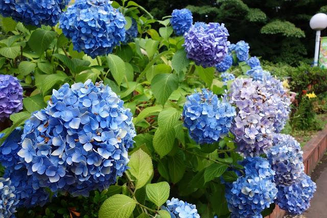 Hydrangea Ajisai Festival at Toshima Park