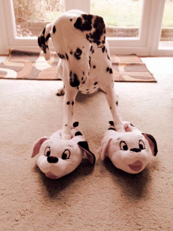 Cute dogs (50 pics), dog pictures, dalmatian dog wears dog slippers