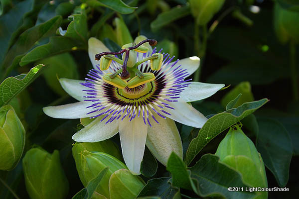 light colour shade blue passion flower passiflora caerulea. Black Bedroom Furniture Sets. Home Design Ideas