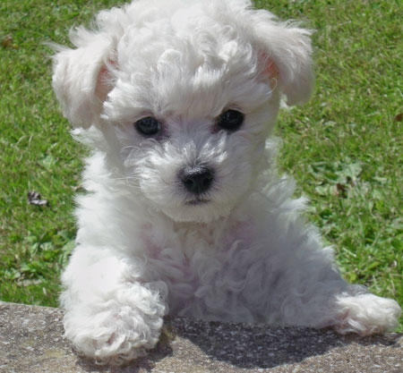 Puppies Names on General Description Of The Bichon Frise