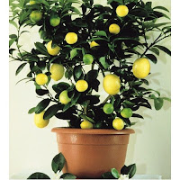 čebrovke limonovec