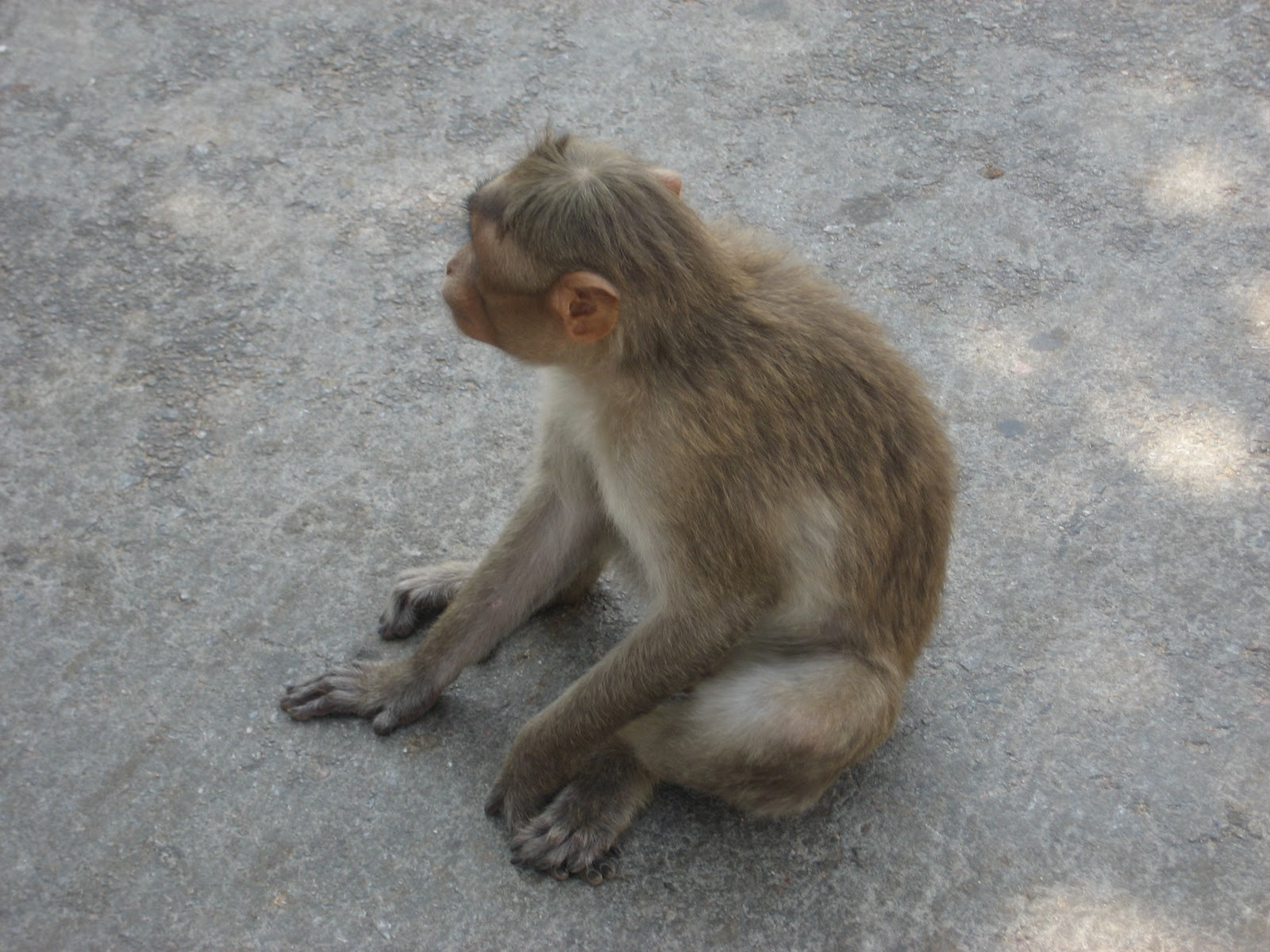 Indian Monkey Images Travels with Ja...