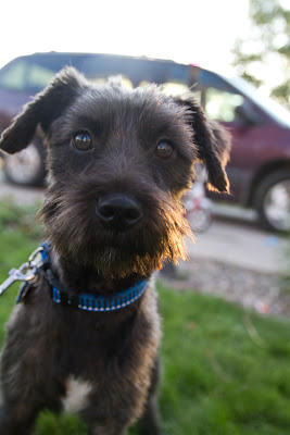 >Molly {Schnauzer Cross} - ADOPTED