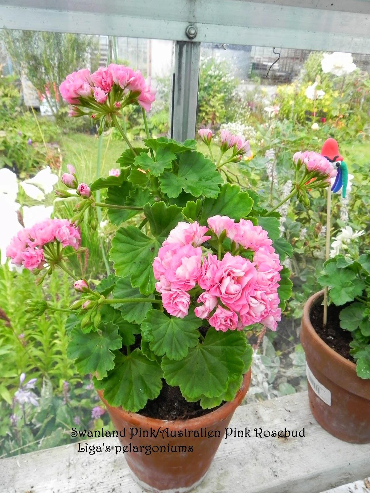 10PCS Swanland Pink Australien Pink Rosebud Zonal Geranium Flower Seeds