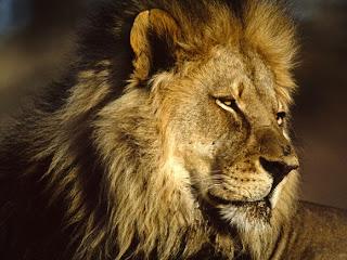 Foto Singa Sang Raja Hutan
