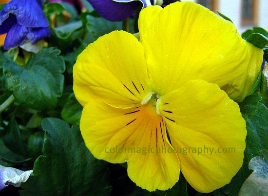 Yellow pansy-macro