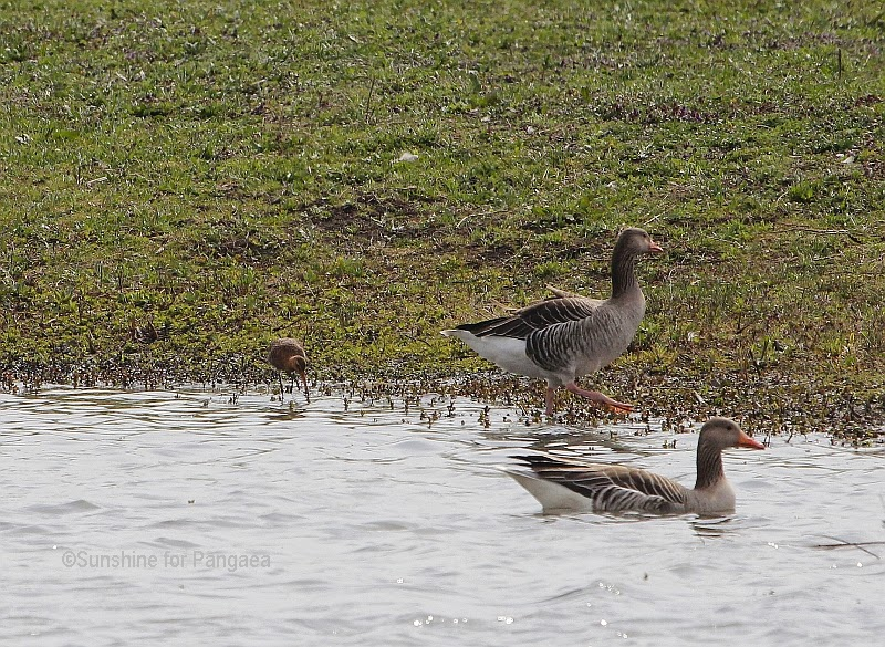 Black-tailed Godwit and Graylag Goose