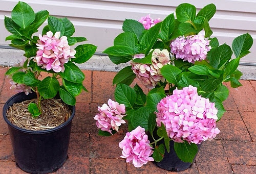 Hydrangeas propagated by root division