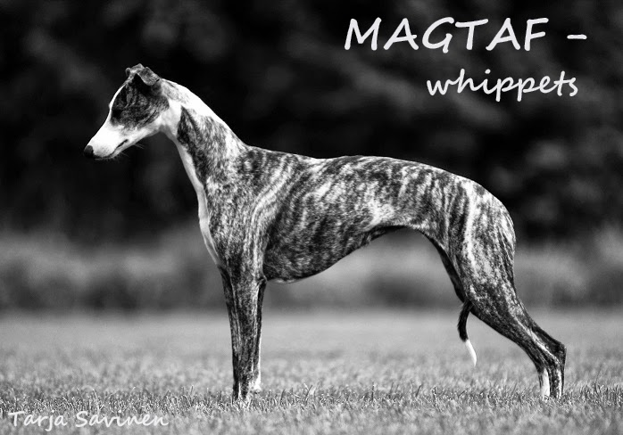 MAGTAF - whippets