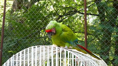 Nicaraguan macaw