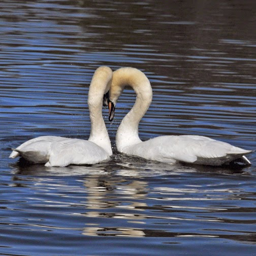 adult mute swans in mating display