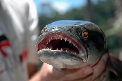 ikan yang paling buas yang tidak mengenal rasa takut