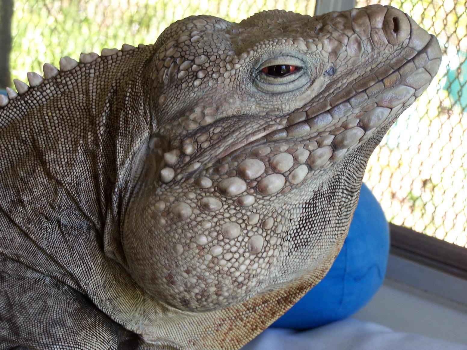 lizards in scarves