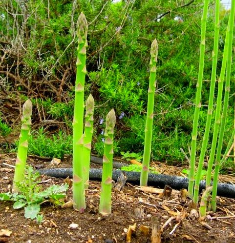 Benefits And Nutrition Of Asparagus For Health