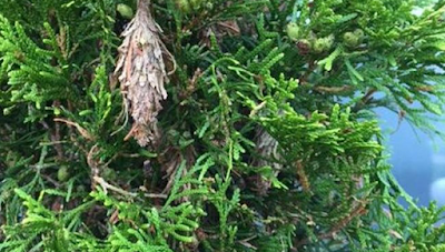 bagworm that can kill a tree