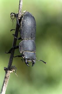Para ampliar Dorcus parallelipipedus (Ciervo volante menor) hacer clic