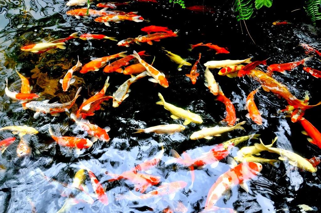 Cara mengatasi air kolam koi berbusa informasi dunia air for Koi 1 utama