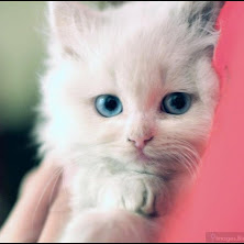 cute, cat, kitten, blue eyes