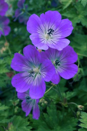 Geranium Phaeum Grows Naturally In Damp Meadows And Along The Edge Of Woodland So Does Not Like To Dry Out Prefers Some Shade Libani Seems