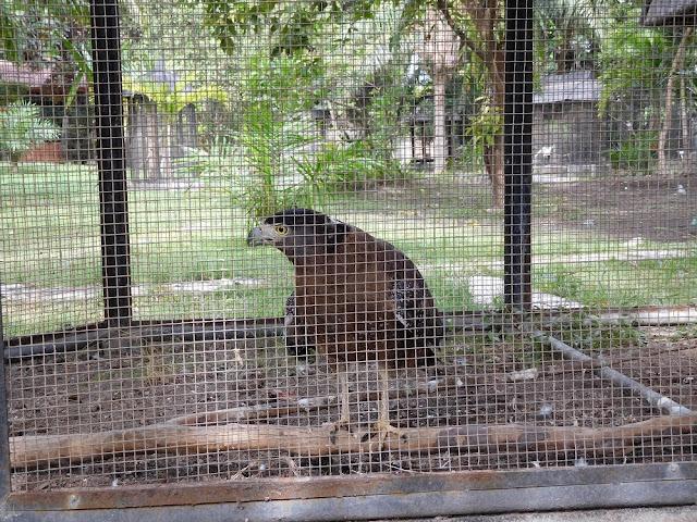 Elang di Taman Satwa Mirah Fantasia diperlakukan mirip ayam