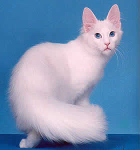 Turkish Angora Cats