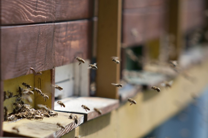 honey bees in flight near hive boxes
