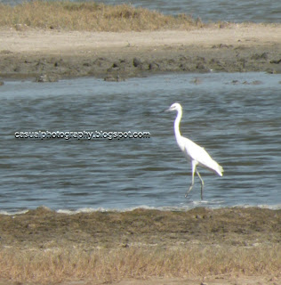 Egret - The lone guy waiting for... - adirampattinam