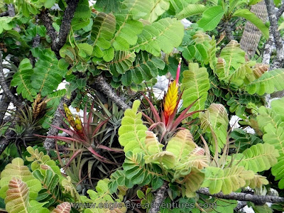 Tillandsia concolor oaxaca