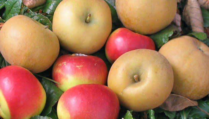 Adam 39 s apples pomme de reinette et pomme d 39 api - Pomme de reinette et pomme d api tapis tapis rouge ...