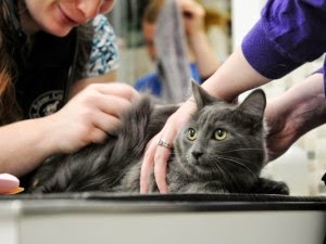 Pentingnya Vaksinasi Pada Kucing Anggora Persia