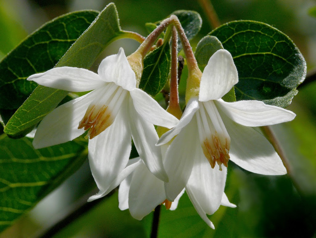 Benefits Of Benzoin (Styrax benzoin) For Health