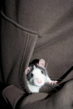 Råttan Ben i min ficka