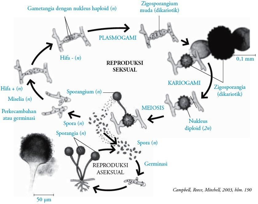 Zygomycotina : Fungi Pengertian Ciri-ciri Reproduksi ...