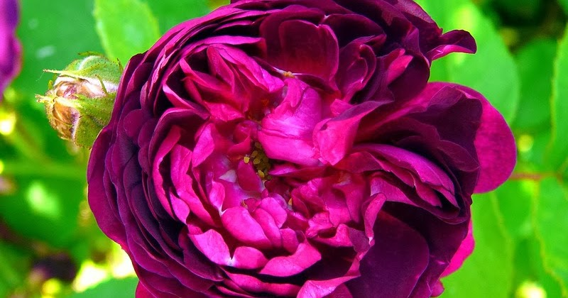 Derri re les murs de mon jardin derniers rosiers - Derriere les murs de mon jardin ...