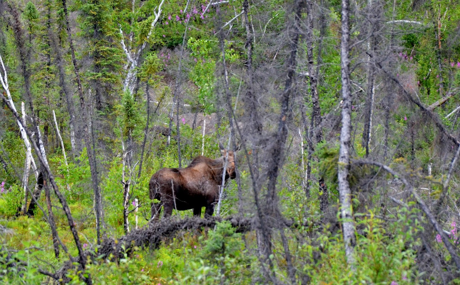 Moose in the bush.