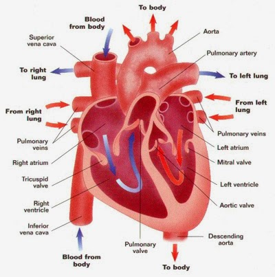 Supports Heart Patients article