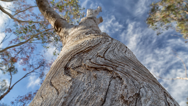 curved bark on eucalyptus tree