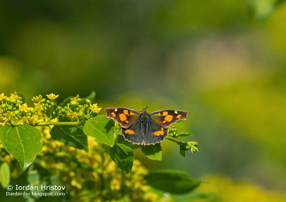 Nettle tree butterfly Libythea celtis, copyright Iordan Hristov