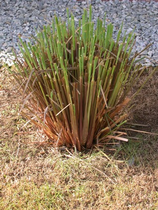 herbs and spices plants for sale lemon grass plant