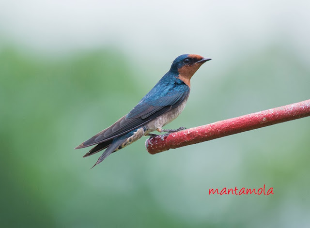 Pacific Swallow (Hirundo tahitica)