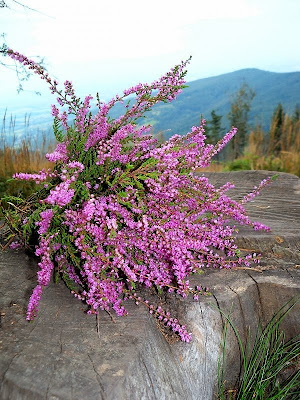 Radiant Orchid purple heather