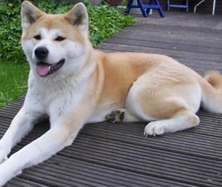 Akita dog, dog, Dogs, pet, pets,