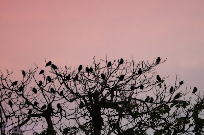 Estorninos (Sturnus sp.) Starlings