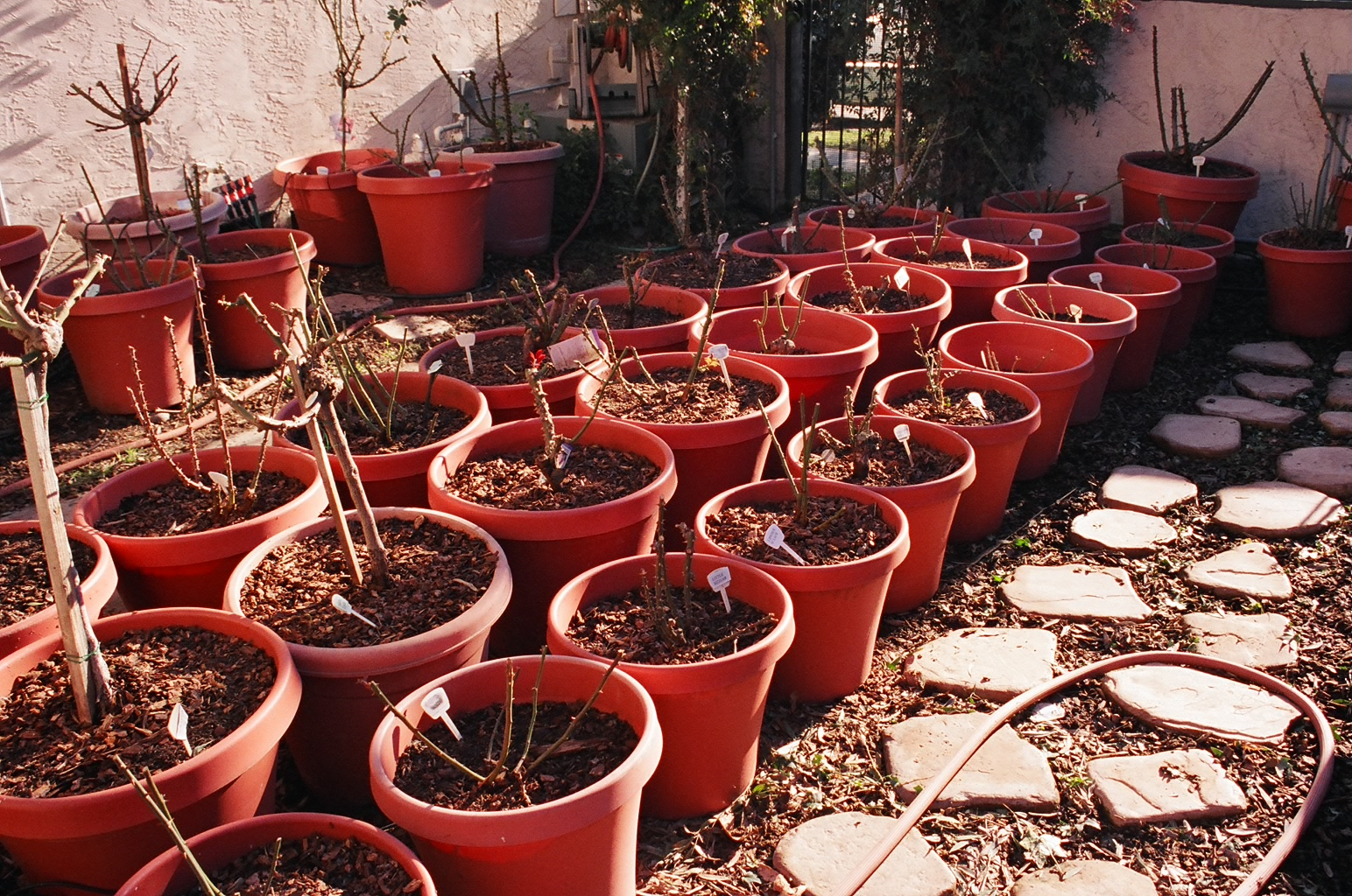 Уход за домашними розами в горшках в домашних условиях