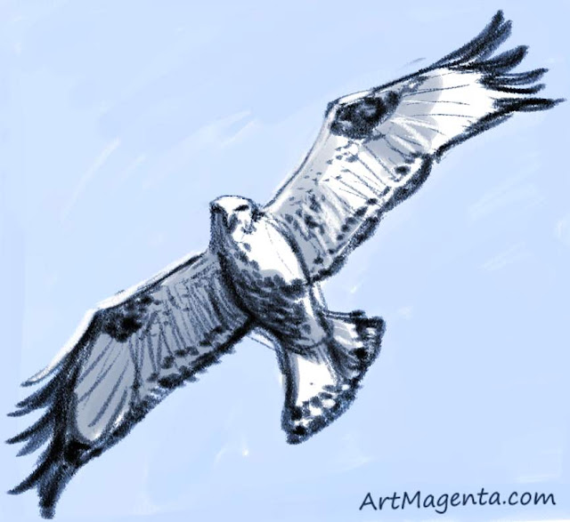 Rough-legged Buzzard sketch painting. Bird art drawing by illustrator Artmagenta.