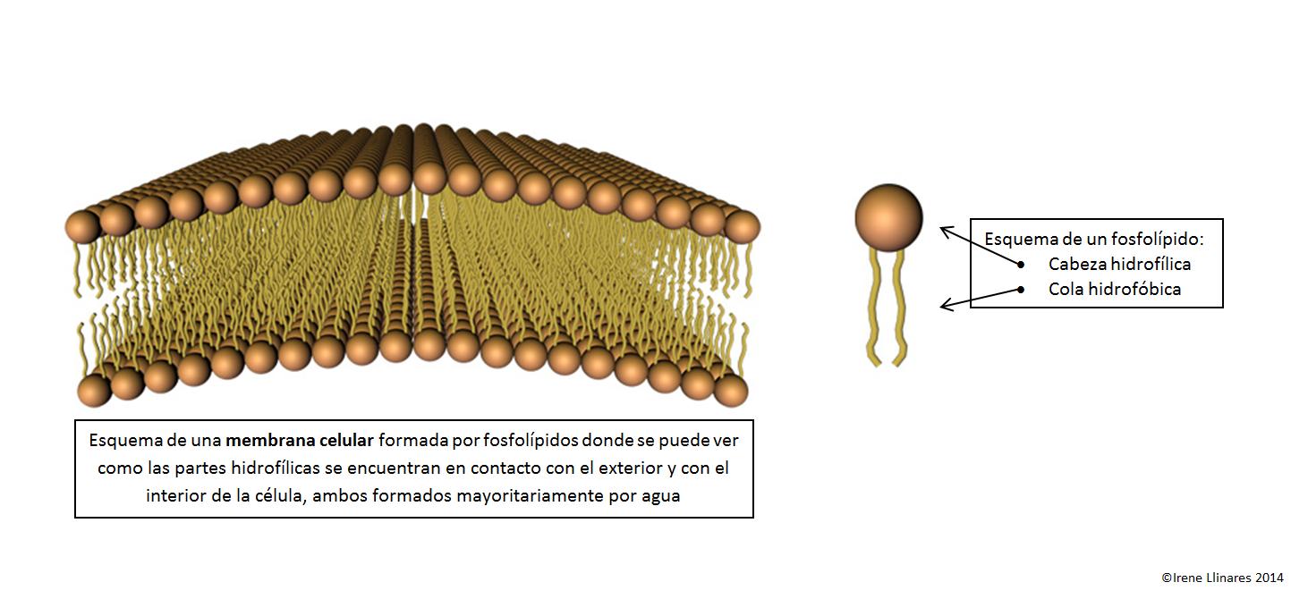 Scienceaholic: Hidrofílicos, hidrofóbicos y diferencia de densidades ...