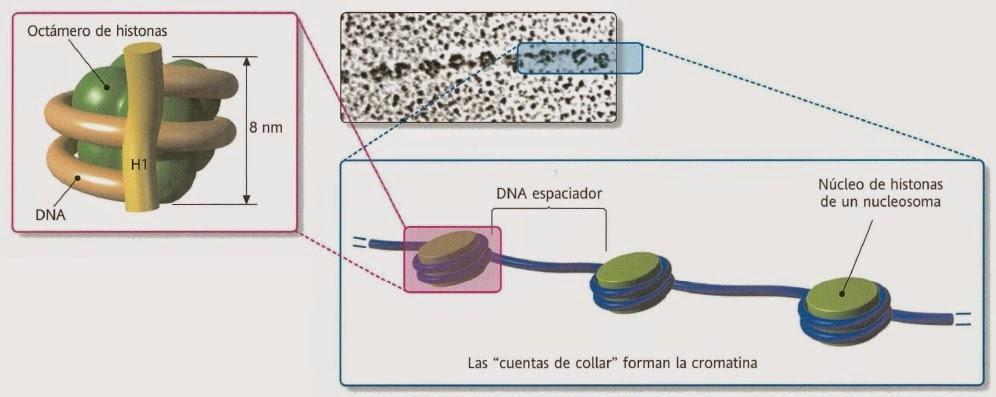 Cromosomas.Nucleosomas, ciclo celular y organización del cromosoma ...