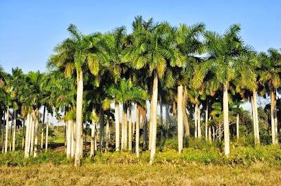 Cuba, Las Bellas Palmas Reales ! ! !