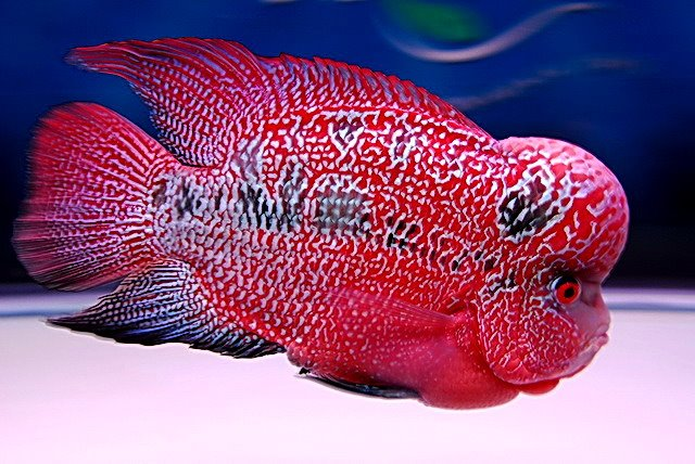 Flowerhorn the hybrid cichlids red kong kamfa flowerhorn for Flower horn fish price